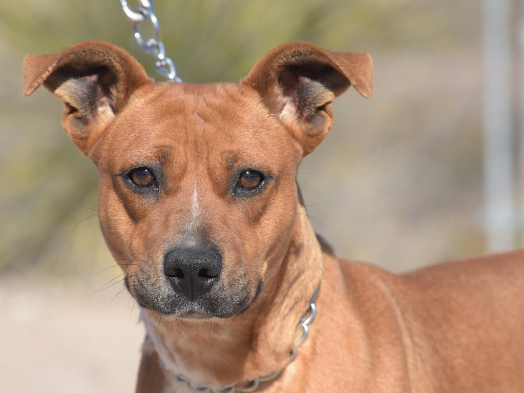 Venus - Female (spayed) shepherd mix, about 2 years and 3 months old.Intake date:11/21/2018