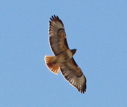A red-tailed hawk soars above the northern Mesilla Valley