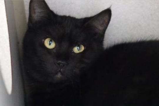 Zola is a 10-month-old, spayed female, short haired black cat.