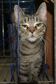 This is Vena; she is a 6-month-old short haired silver/black tabby.