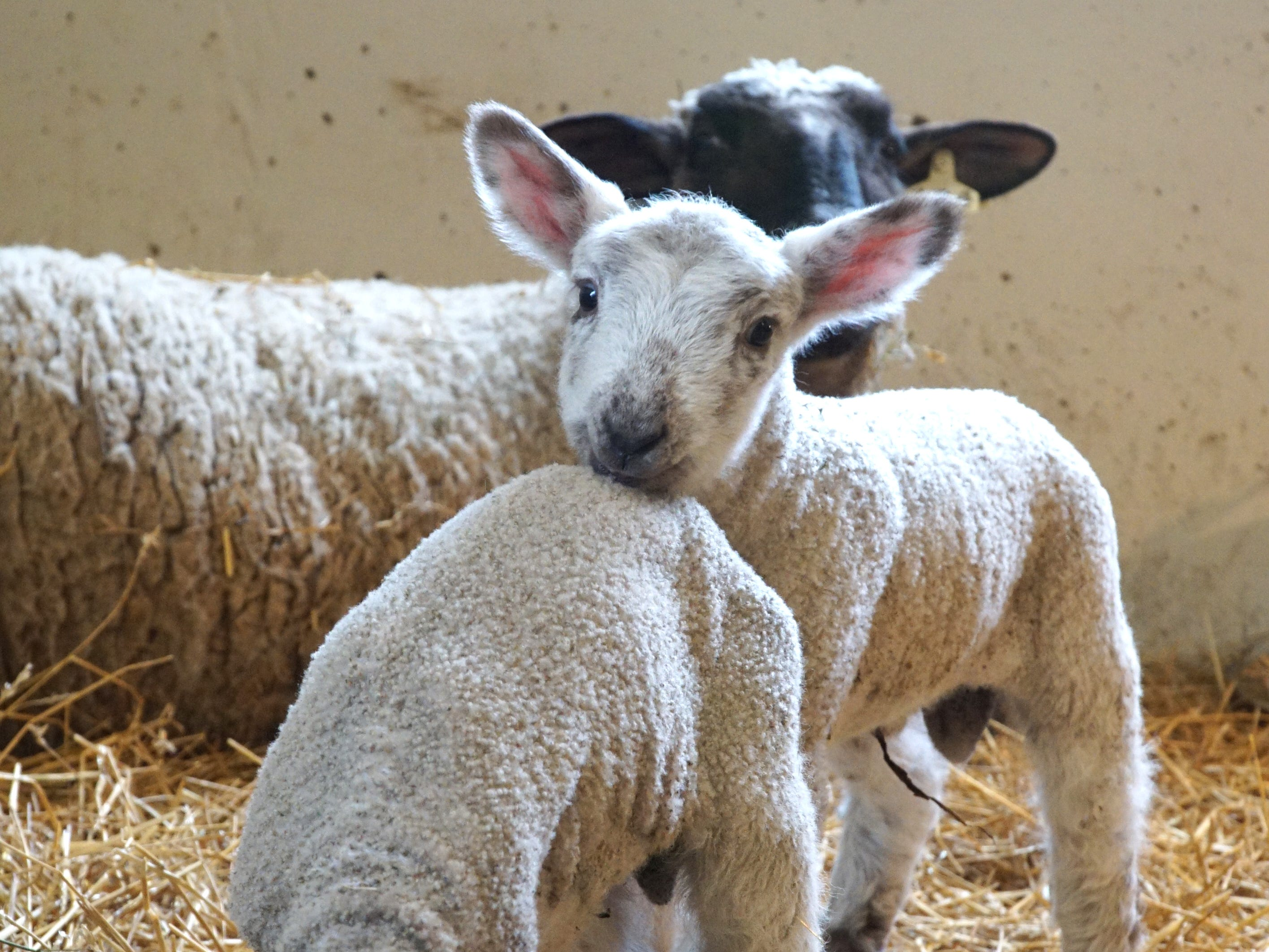 A lamb and their sibling hang out in their pen inside the Kensington Farm Center's barn on March 20.
