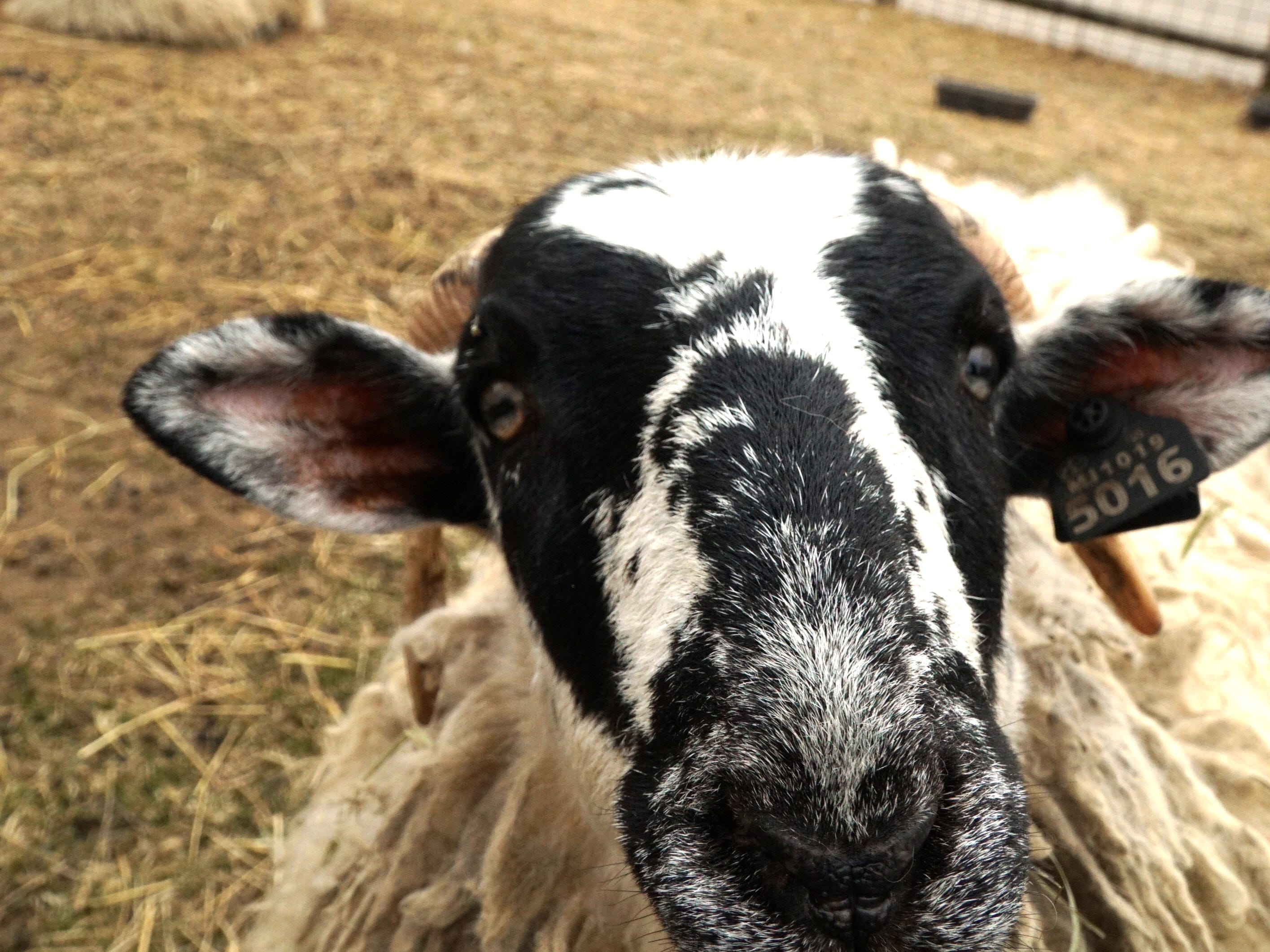 A sheep checks out a visitor's camera on March 19 at Kensington Farm Center. The center is located inside Kensington Metropark at 4570 Huron River Parkway, Milford, MI.