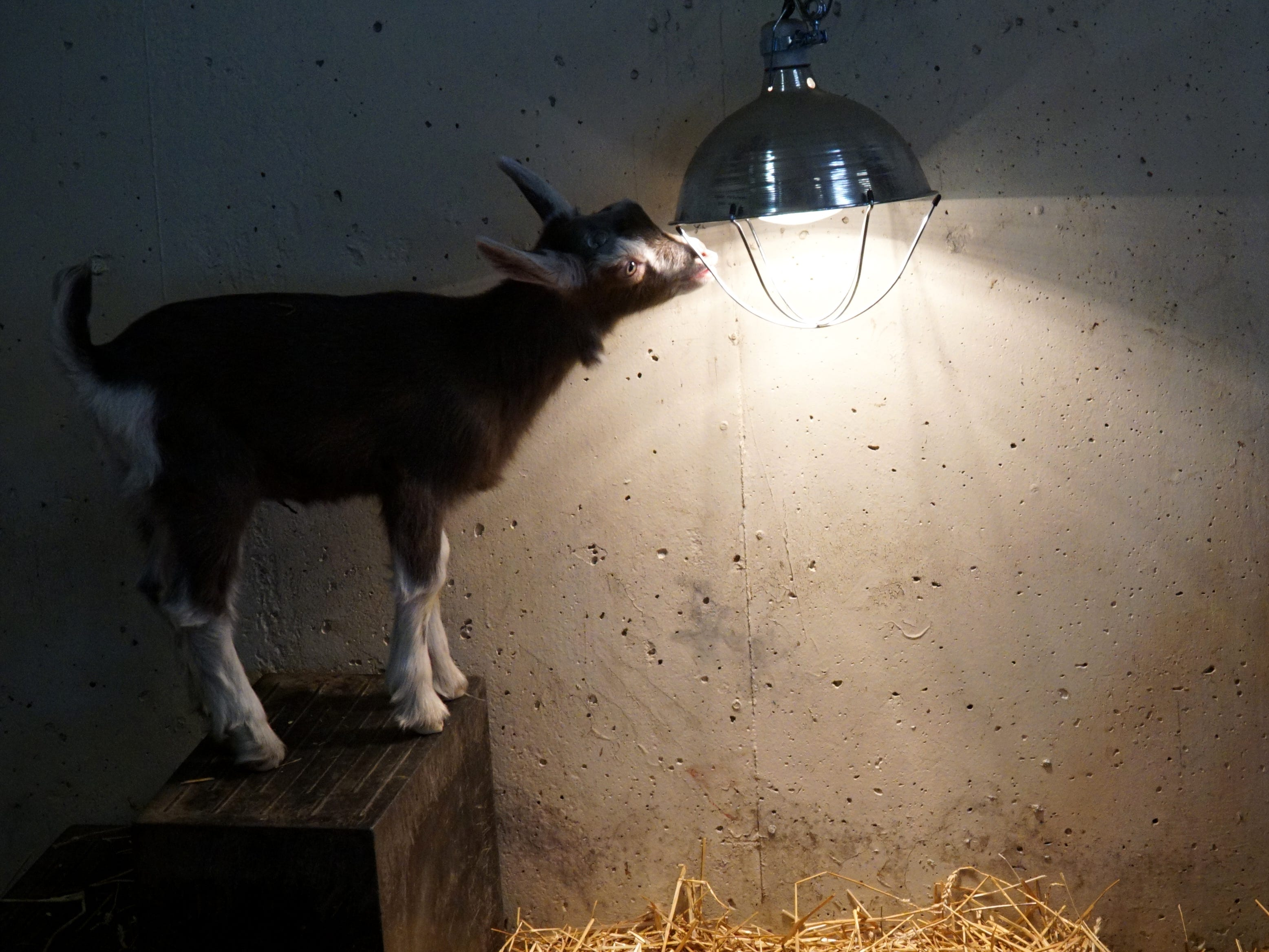 A Toggenburg kid checks out a heat lamp in its pen at Kensington.