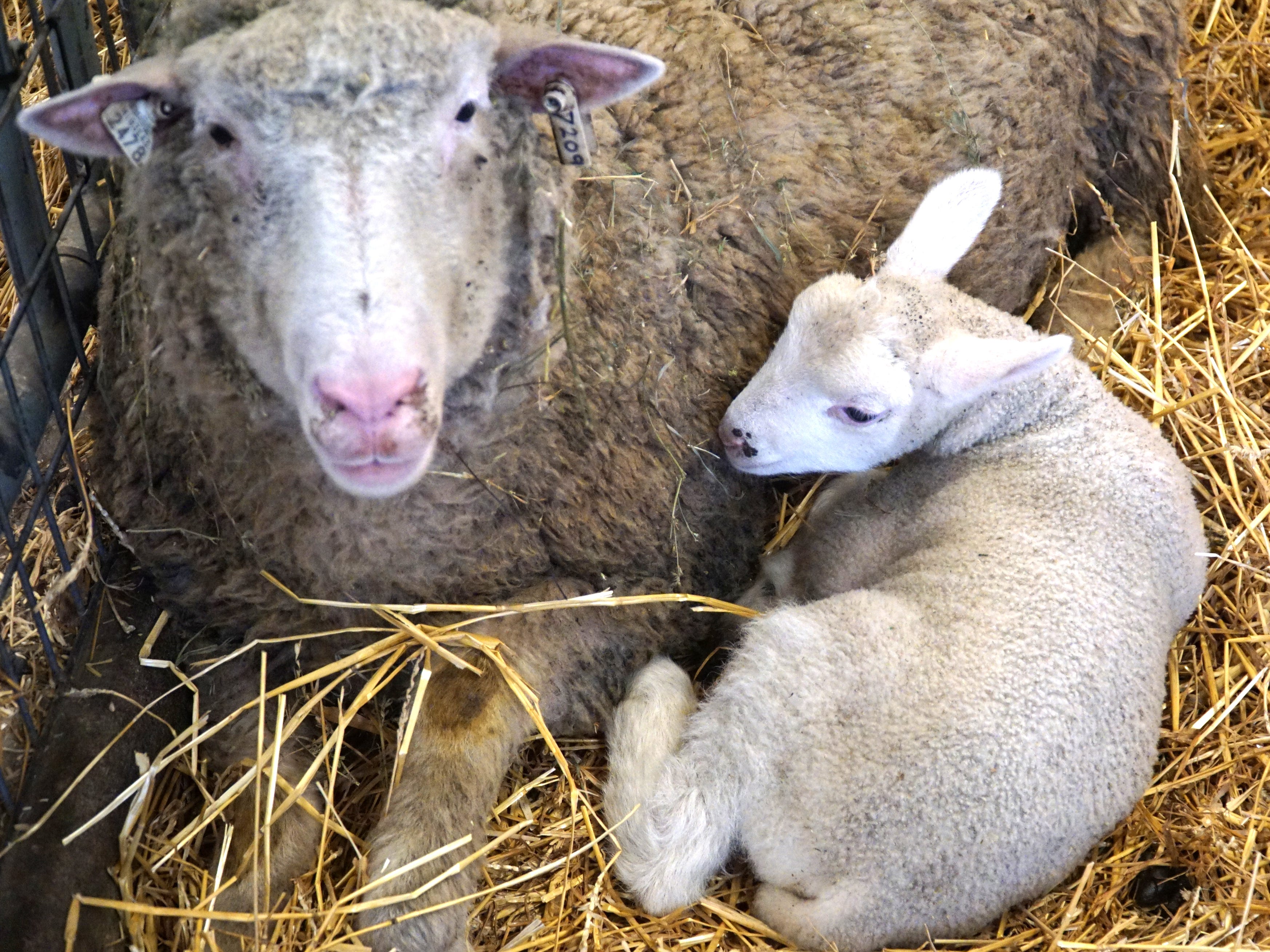 A young lamb snuggles up to its mom on March 20 at Kensington.