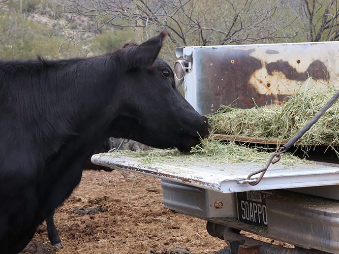 The cattle in Quarter Circle Ranch have learned to associate the sound of Jordan Selchow's white truck with food. Cattle come to him rather than his having to chase them down.