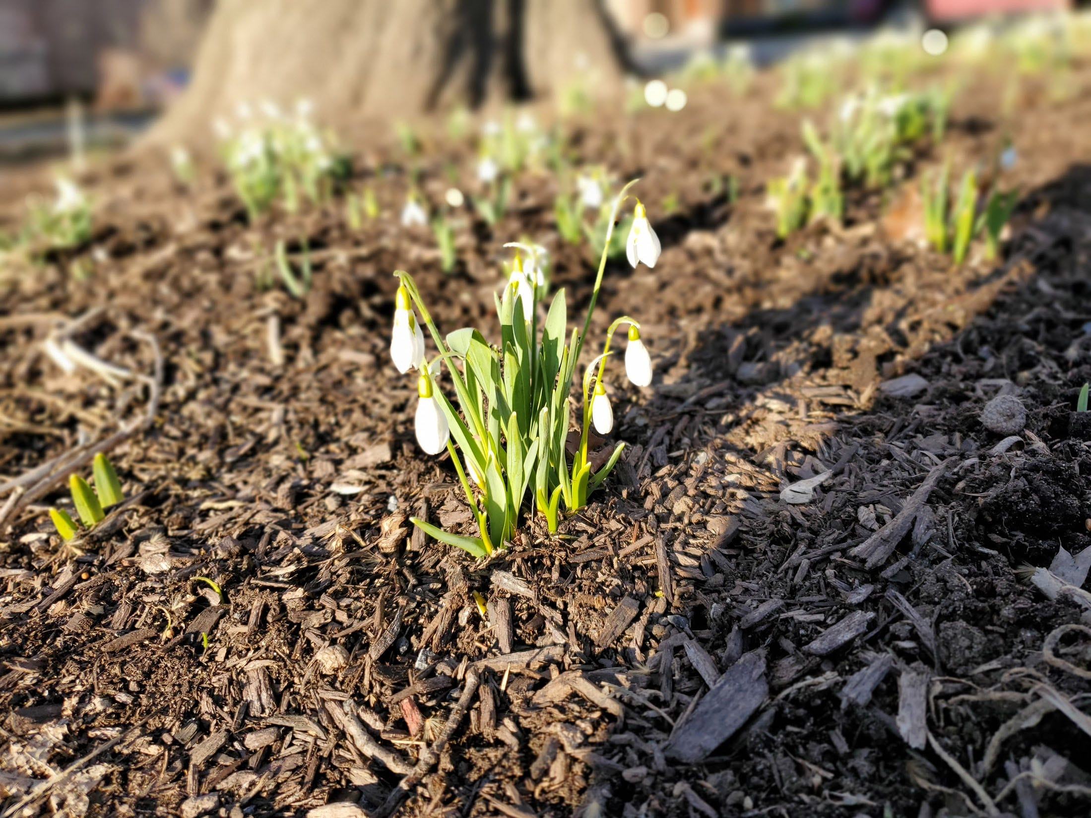 Snowdrops (Galanthus) blooming in the town of Poughkeepsie. Spring is near. @jimberetta2