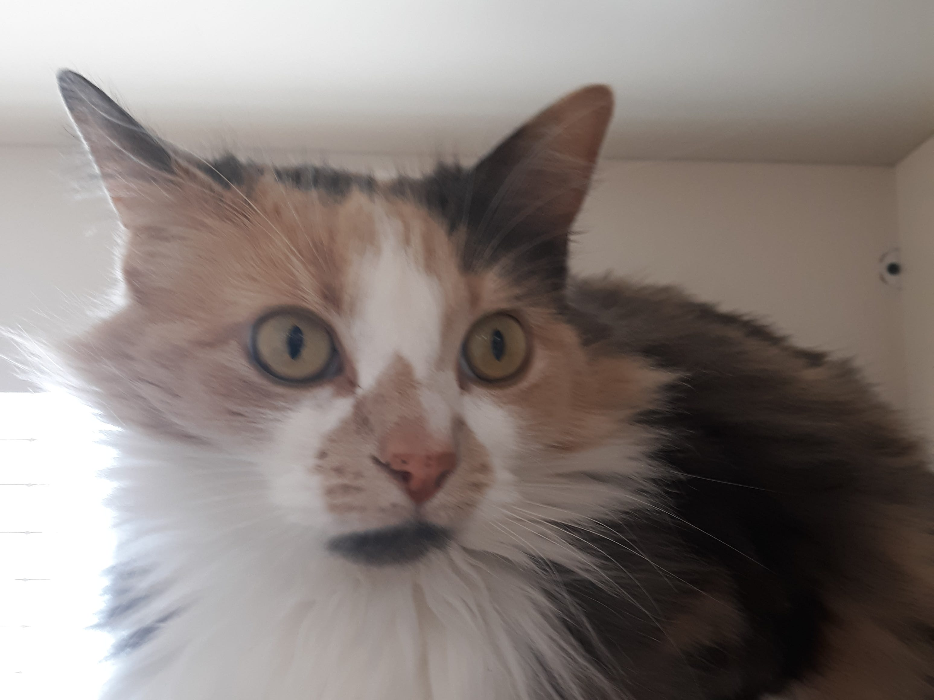 Izzy is a 5-year-old female calico cat with beautiful diluted coloring. She is spayed, vetted and up to date on vaccines. All animal adoptions include spaying or neutering and vaccinations. Apply with Another Chance Animal Welfare League at www.acawl.org. Call 356-0698.