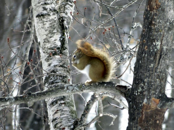 Red squirrels are feisty little creatures that dominate over their larger cousins.