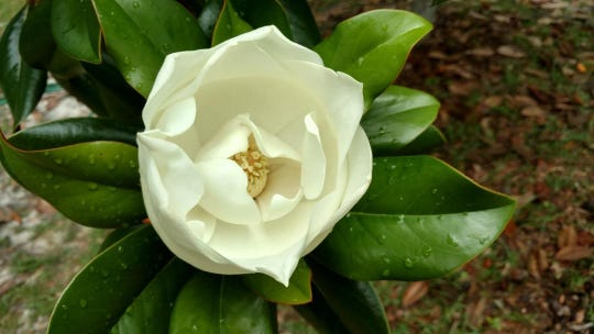 Southern magnolia bloom, ready to open.