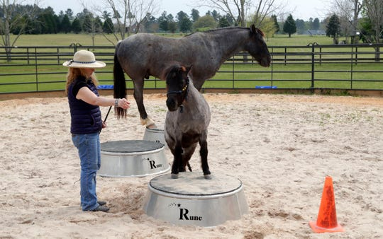 Teresa Leigh commands her miniature pony Juno to step up onto a pedestal while Rune Nevada stands on his own pedestal behind them Tuesday, March 19, 2019. Leigh is working with Rune to become the Guinness Book of World Records Smartest Horse.