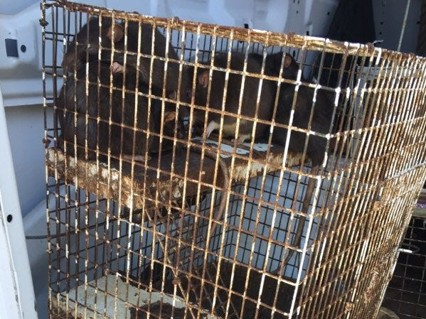 These rats were among the dozens of animals impounded from a house in Ojai on March 14.