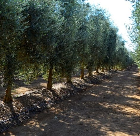 Musco Family says no to Spanish olives, 'steps up' for Central Valley growers abandoned by Bell-Carter