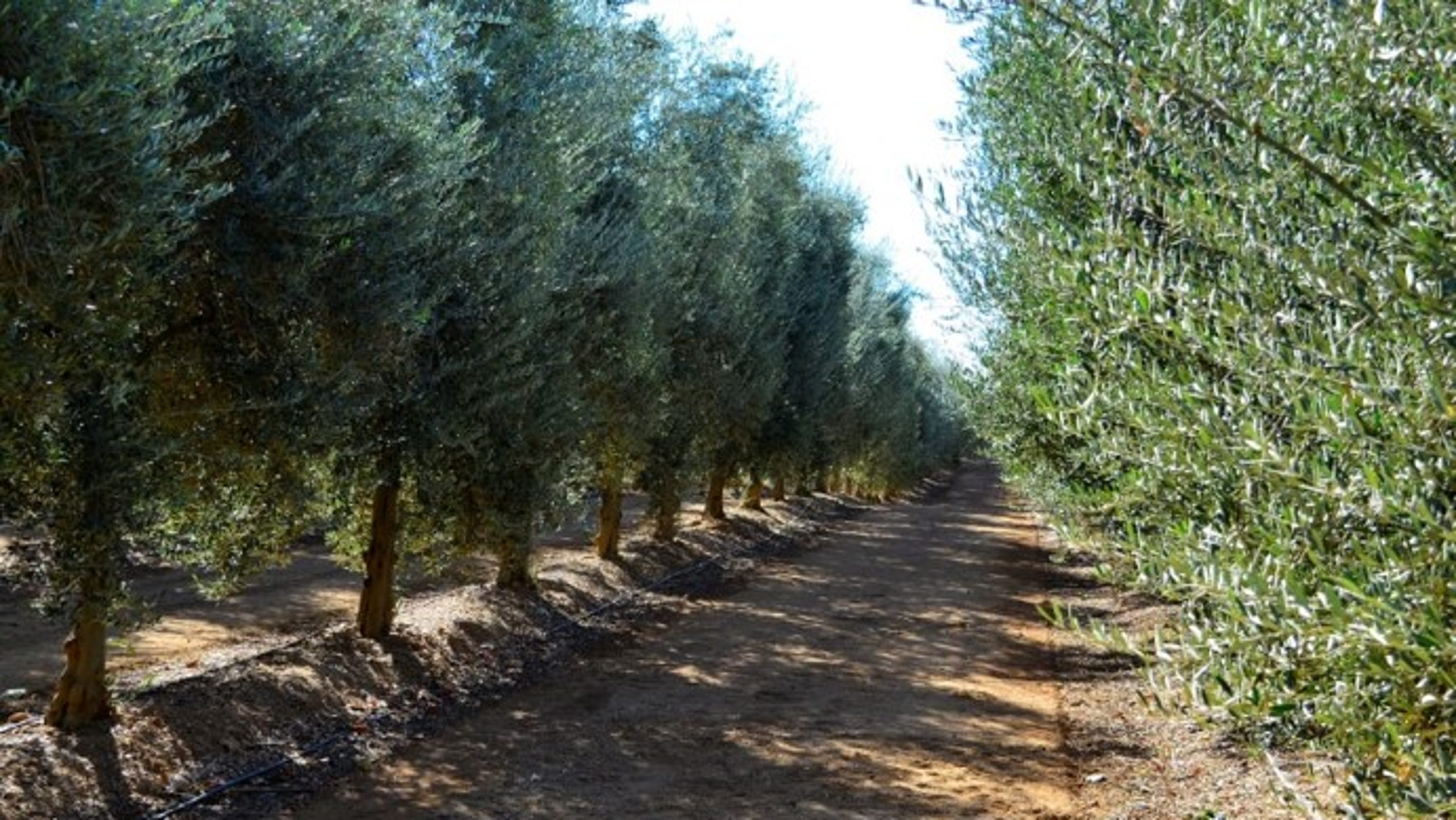 Musco Family says no to Spanish olives, 'steps up' for Central