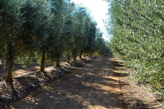 Musco Family Olive Co. announced on Tuesday that it would offer contracts to many Tulare County growers who now face financial ruin after olive processor Bell-Carter canceled agreements with an estimated 4,500 acres across the region. Pictured here is one of Musco's orchards.