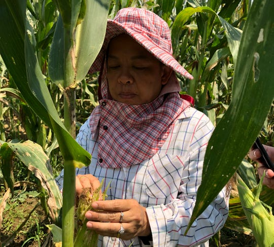 Uraporn Nournart, a field expert at Thailand's agriculture ministry, points to plants affected by the fall armyworm in Tha Muang, Thailand.