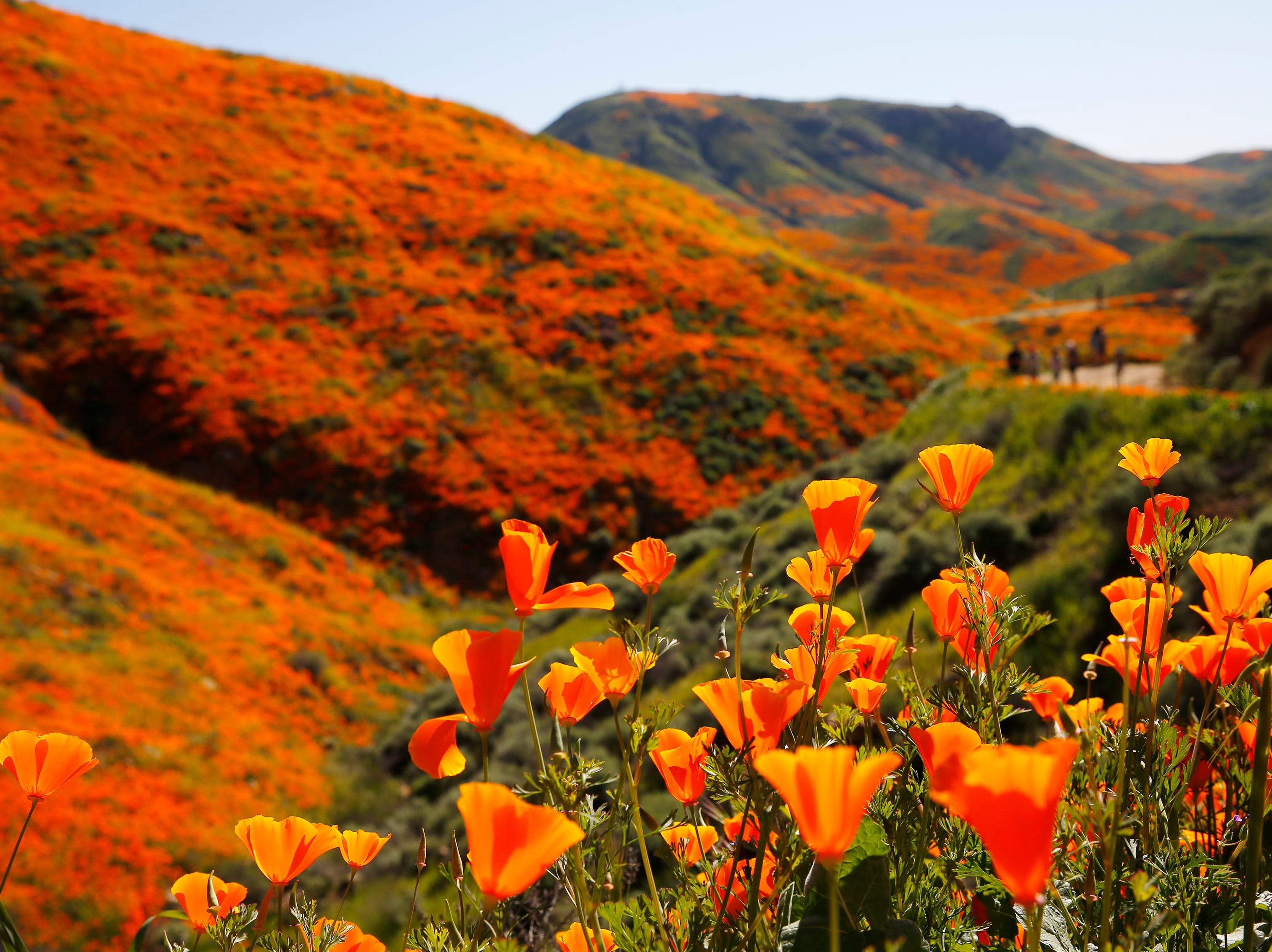 Poppies color a hillside at Walker Canyon in Lake Elsinore, Calif. Sunday March 17, 2019. After massive crowds flooded the small community to see the flowers, city officials have shut down Walker Canyon to the public. No shuttles or visitors will be allowed.
