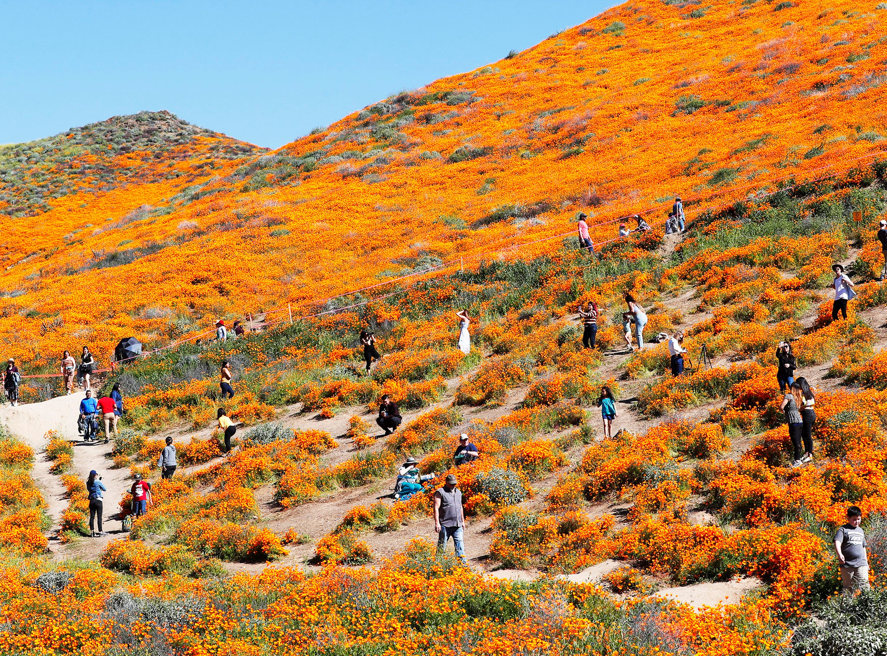 Visitors flood the poppy fields at Walker Canyon in Lake Elsinore, Calif. Sunday March 17, 2019. After massive crowds flooded the small community, city officials have shut down Walker Canyon to the public. No shuttles or visitors will be allowed.
