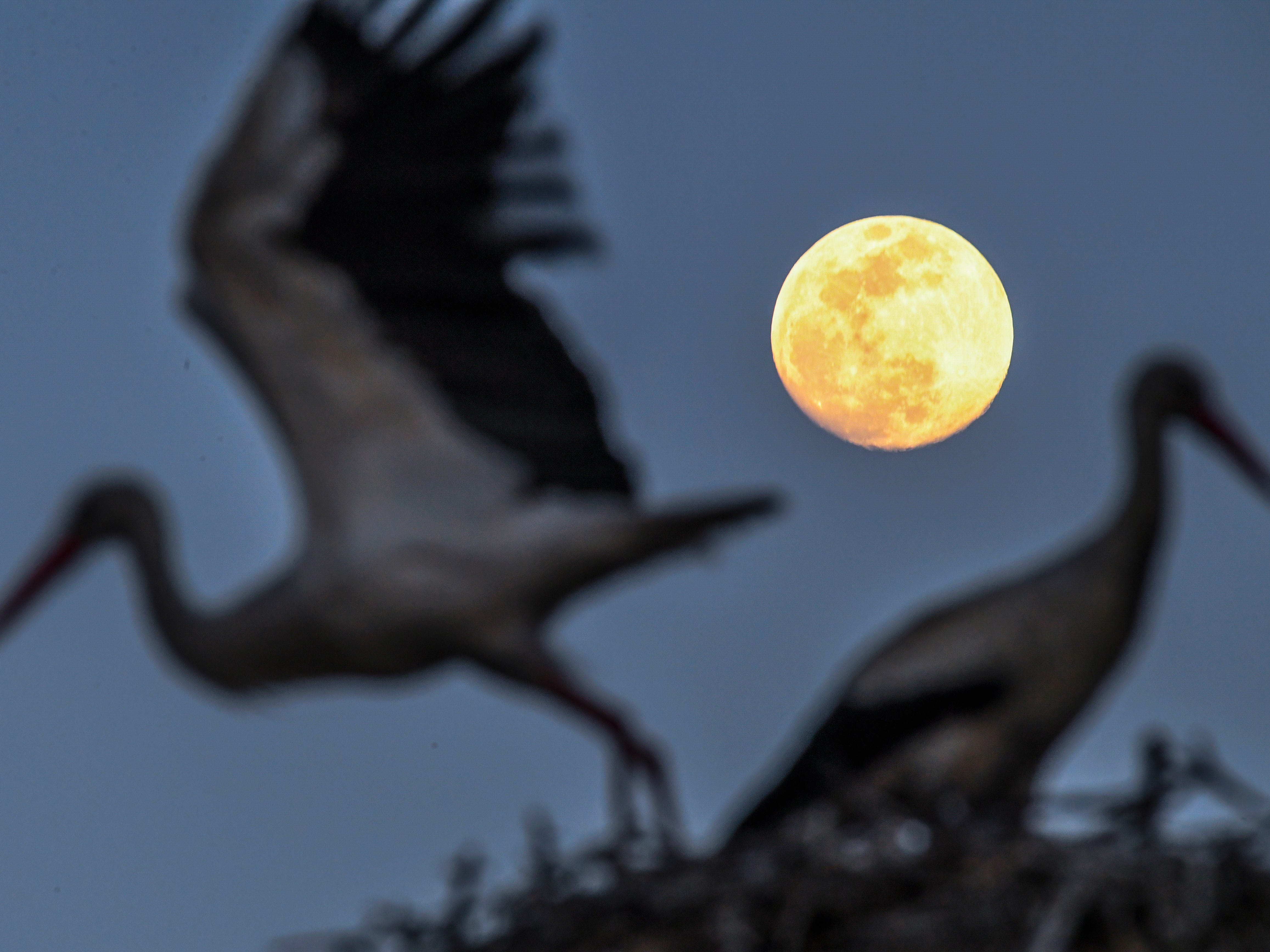 The first storks to arrive one day before the beginning of spring sit in their nest before the full moon in the village of Rzanicino near Skopje, Northern Macedonia, on March 19, 2019. From March 20 to 21, the first full moon of spring for the northern hemisphere and the first full moon of autumn for the southern hemisphere can be seen in the sky.