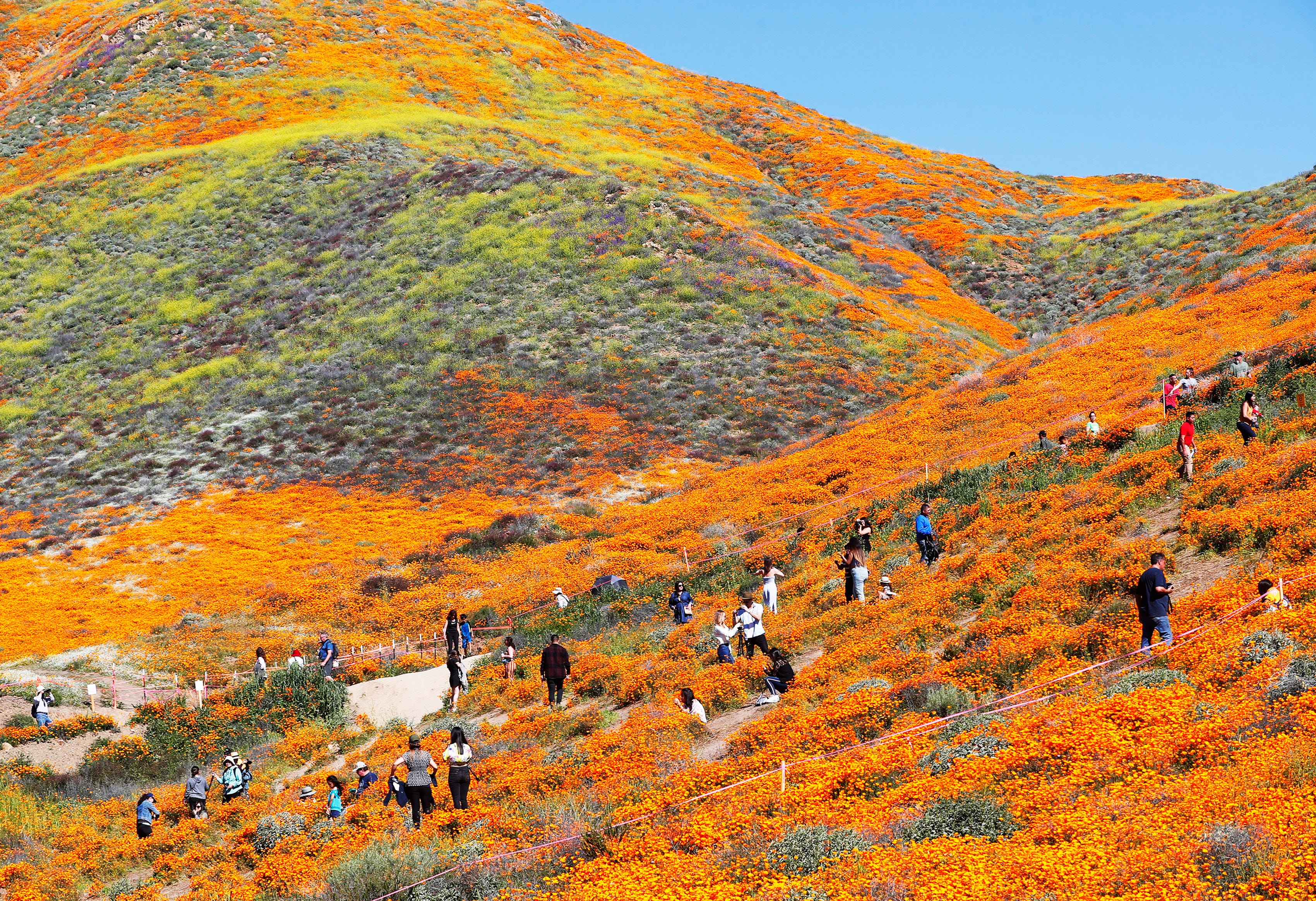 Tourists flood the poppy fields at Walker Canyon in Lake Elsinore, Calif. Sunday March 17, 2019. After massive crowds flooded the small community, city officials have shut down Walker Canyon to the public. No shuttles or visitors will be allowed.
