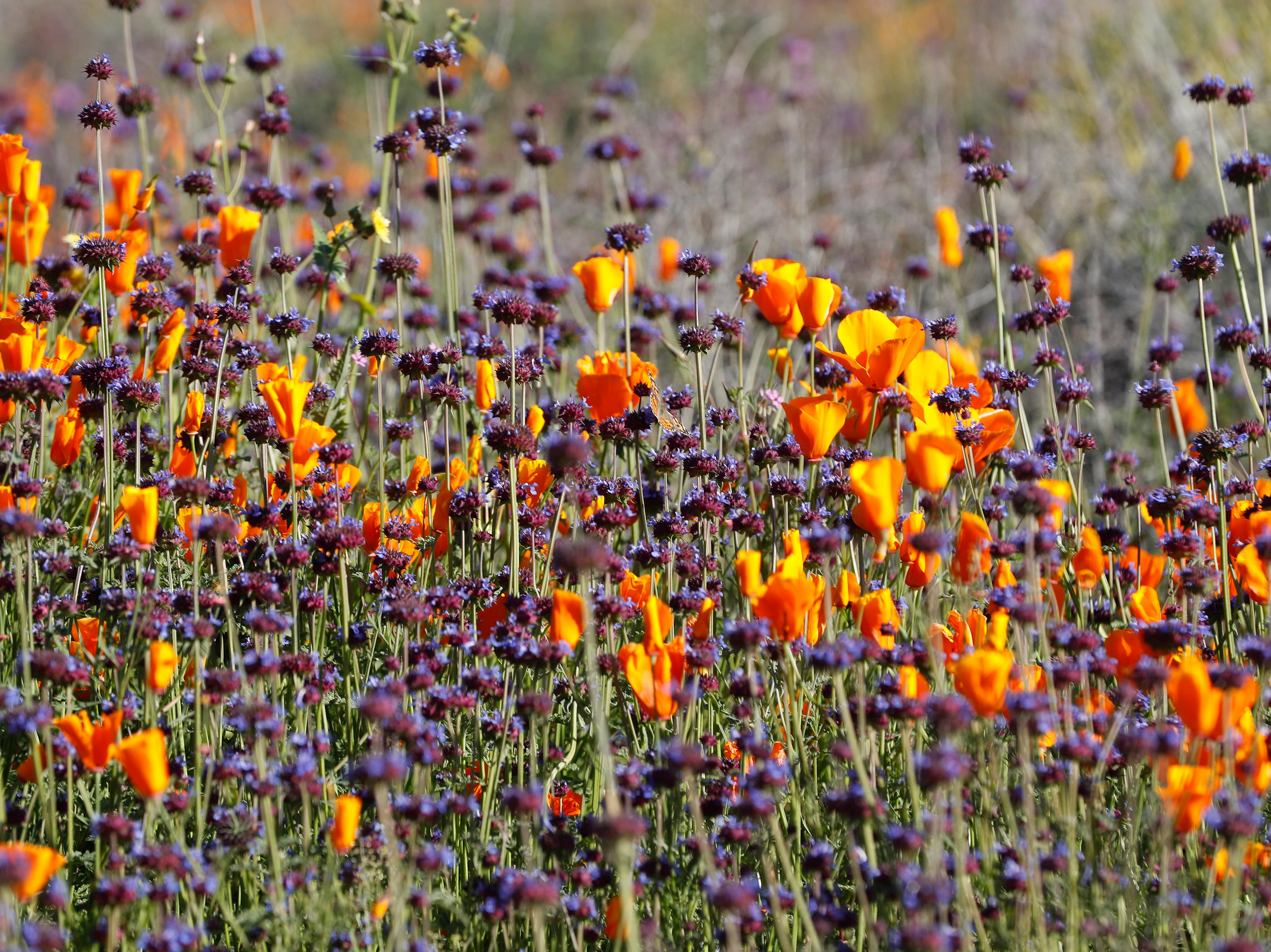 Poppies and wildflowers color Walker Canyon in Lake Elsinore, Calif. Sunday March 17, 2019. After massive crowds flooded the small community to see the flowers, city officials have shut down Walker Canyon to the public. No shuttles or visitors will be allowed.