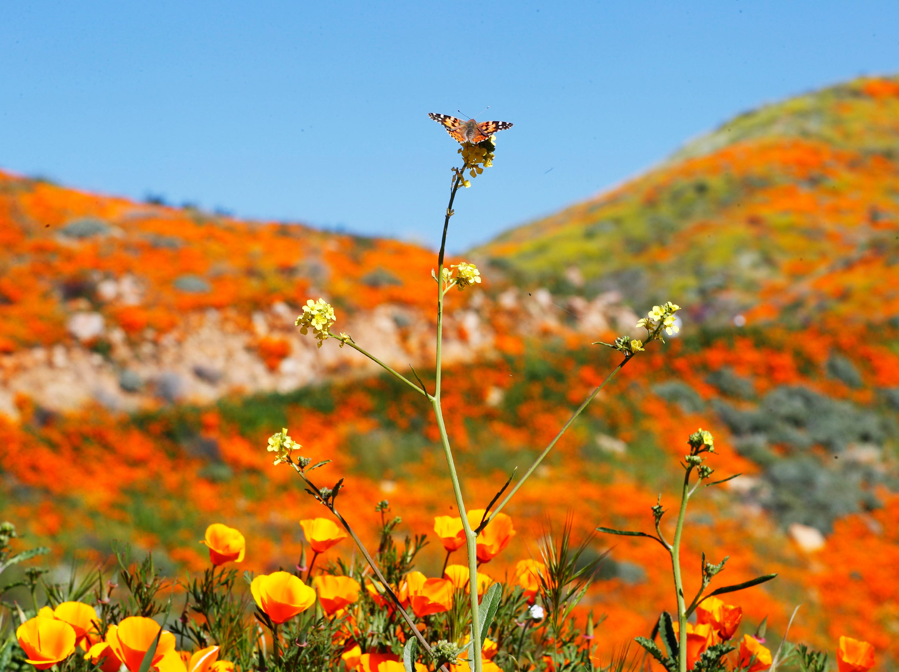 Poppies and wildflowers color the hillsides at Walker Canyon in Lake Elsinore, Calif. Sunday March 17, 2019. After massive crowds flooded the small community to see the flowers, city officials have shut down Walker Canyon to the public. No shuttles or visitors will be allowed.
