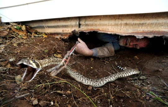 Merkel City Manager Steve Campbell pulls a western diamondback rattlesnake from beneath a house near Roby in March 2011. Campbell specializes in capturing the snakes beneath homes.
