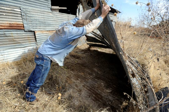 Steve Campbell lifts fallen tin roofing in his search for rattlesnakes in March 2011. He said such places are usually prime habitat for the reptiles.