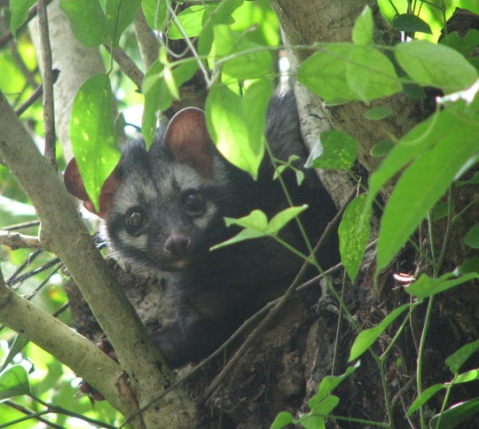 Any Asian palm civet in its natural habitat.