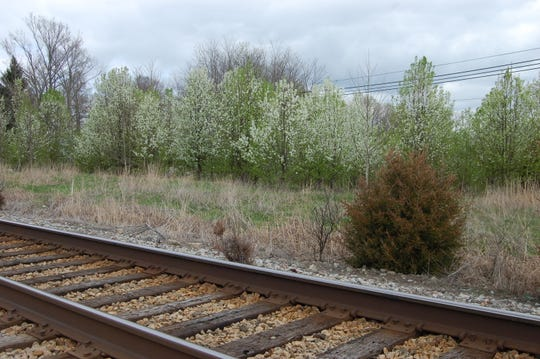 Callery pear seedlings invading along Oldham County railroad tracks. The popular landscape tree has escaped cultivation around the US and threatens local native plant populations.