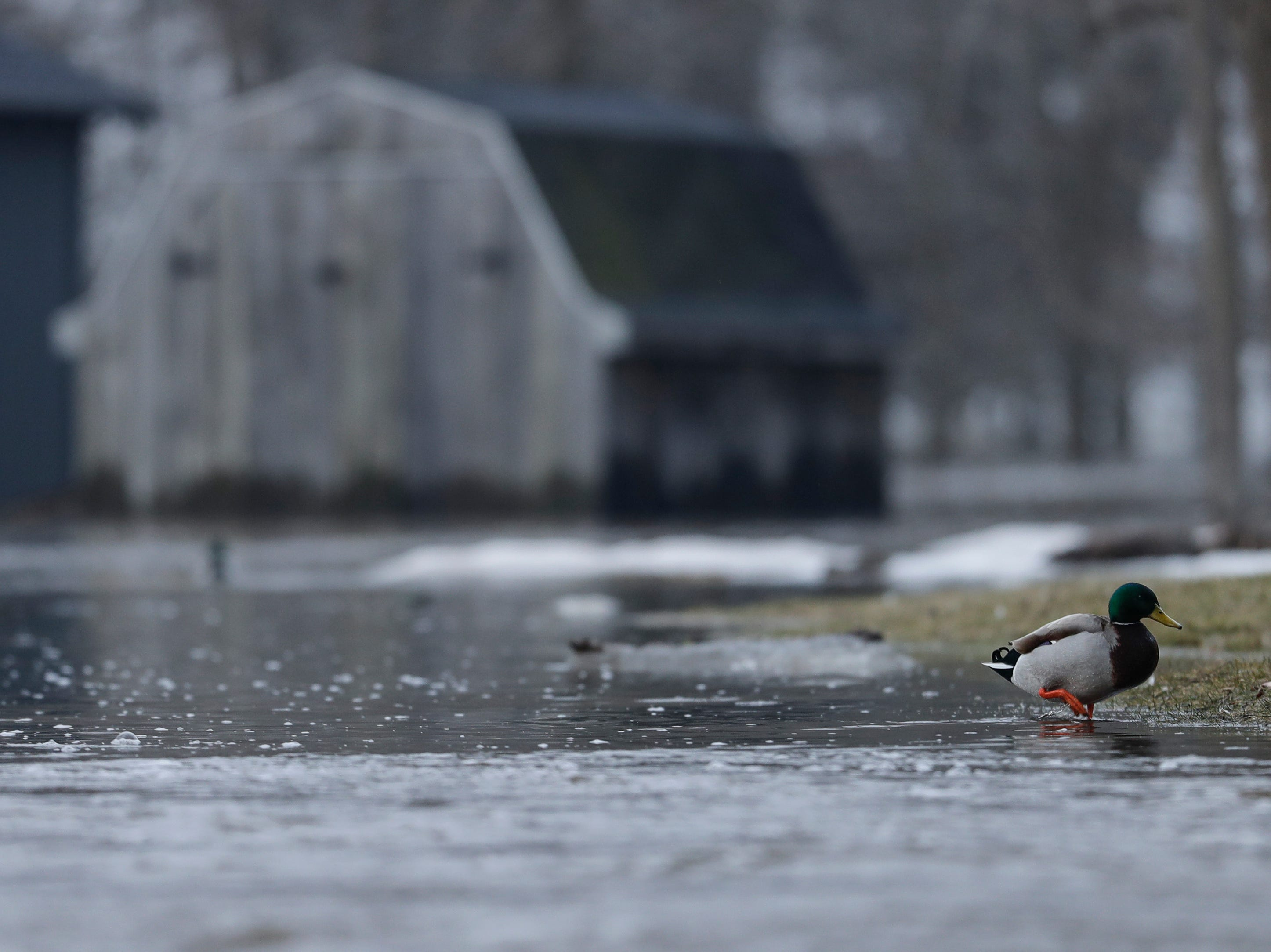 A duck swims in a backyard after an ice jam on the Manitowoc River causes severe flooding near Mill Road Wednesday, March 20, 2019, in Manitowoc, Wis. Joshua Clark/USA TODAY NETWORK-Wisconsin