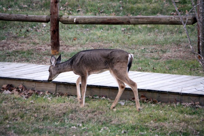 A deer infected with Chronic Wasting Disease is shown in this Arkansas Game and Fish Commission photo. Baxter County will be placed in a news CWD tier as officials work to contain the spread of the disease.