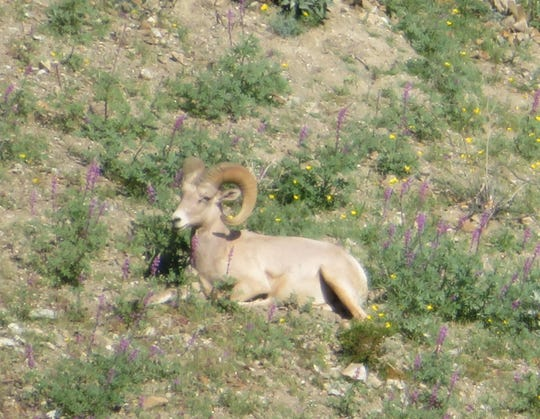A Peninsular bighorn ram reclines amid the wildflowers.