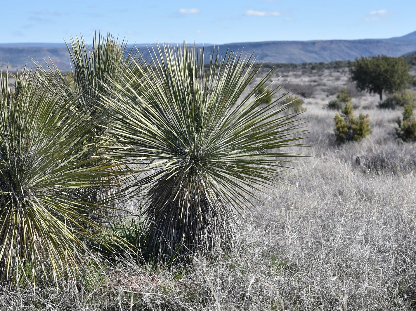 Yucca dots the grasslands of the Wickiup Mesa Trail System.