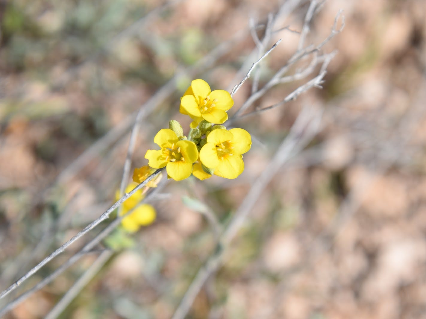 Gordon's bladderpod blooms along the trails.