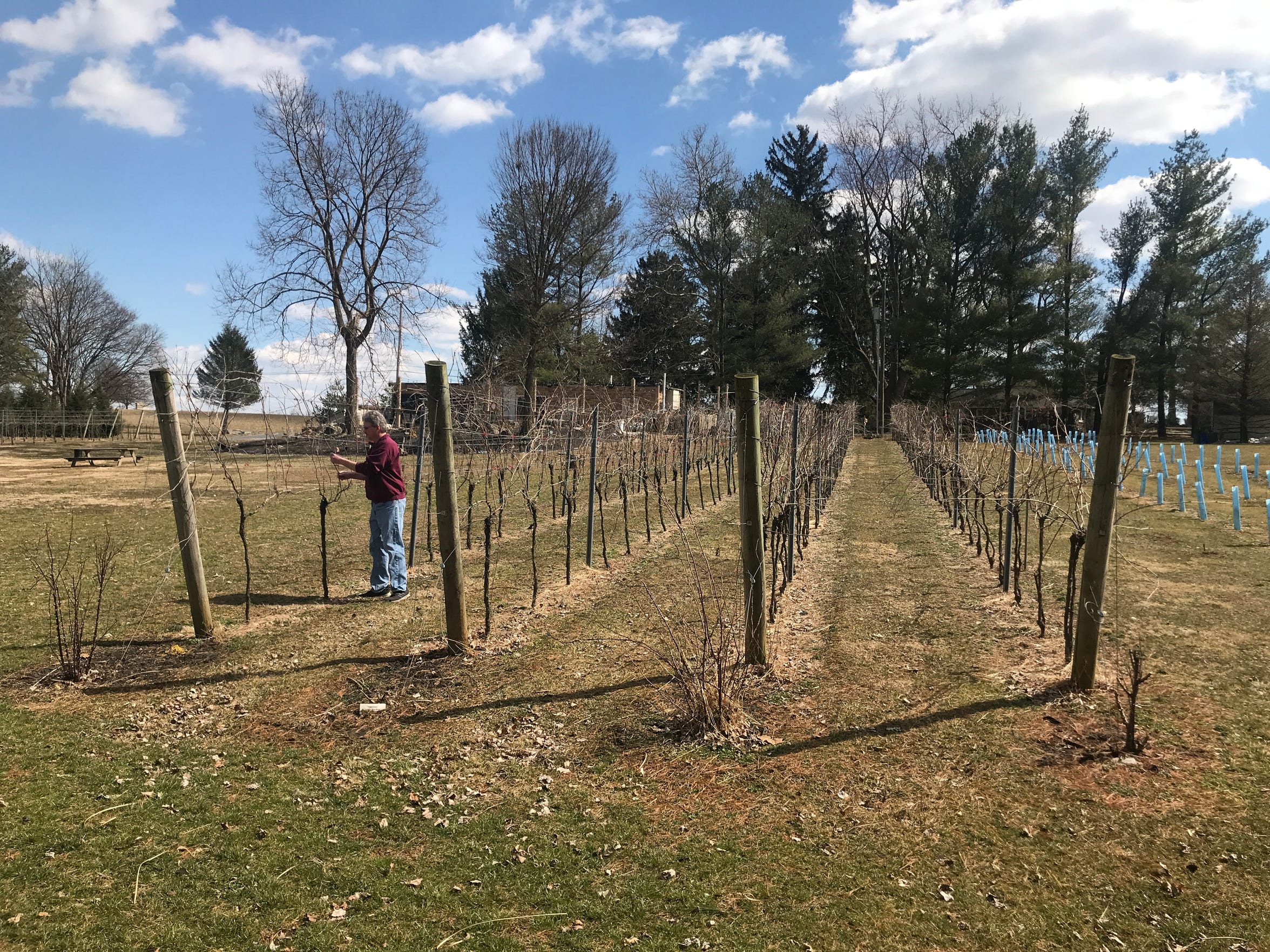 William Hartmann, owner of Royal Oaks vineyard and winery in North Cornwall Township, still plans to maintain his vines while growing industrial hemp this year.