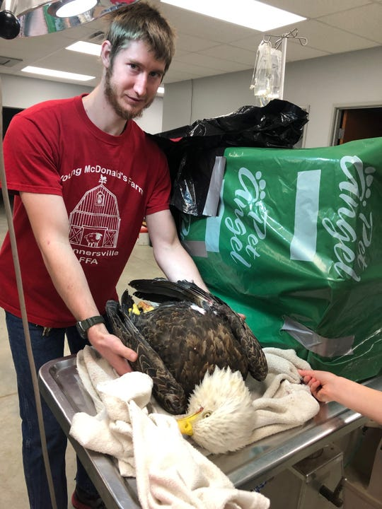 Animal Care Alliance vet tech Tyler Friend helps treat a bald eagle that was found gravely injured near Winchester. Unfortunately, the bird did not survive.