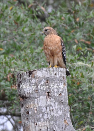 A red shouldered hawk perched upon a topped off tree.