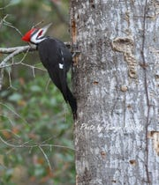 Snags are a great place for birds, including this pileated woodpecker making a nest for its young.