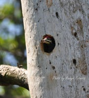 Young pileated woodpecker waiting for its lunch in a nest hollowed out in a snag.