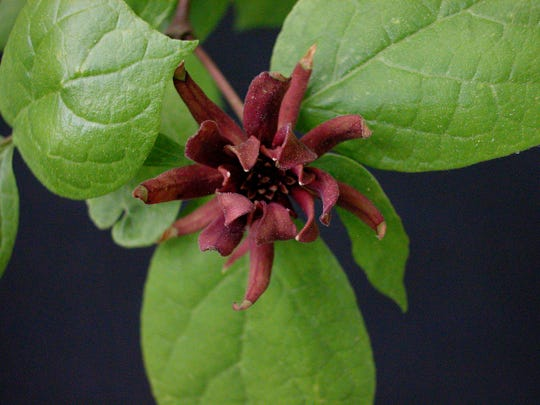 Sweet-shrub or Carolina allspice is native to the southeast.