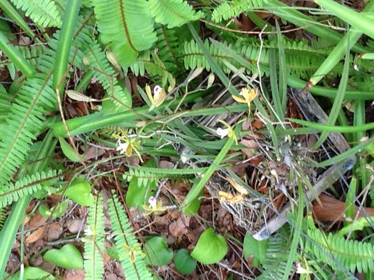 """It was Capt. Frank Forster who first dubbed the area """"Orchid Island"""" for the indigenous Epidendrum Tampanese wild orchid variety which grew in profusion on oak trees and flowered beautifully every May and June."""