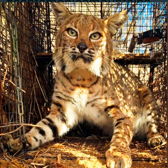 This undated photo provided by the Santa Monica Mountains National Recreation Area shows a bobcat known as B-361 at area headquarters in Calabasas. The bobcat that survived the Southern California Woolsey wildfire has been hit and killed by a car on March 15, 2019. Scientists had been tracking the cat as it roamed between the burned and unburned areas of Malibu Canyon.