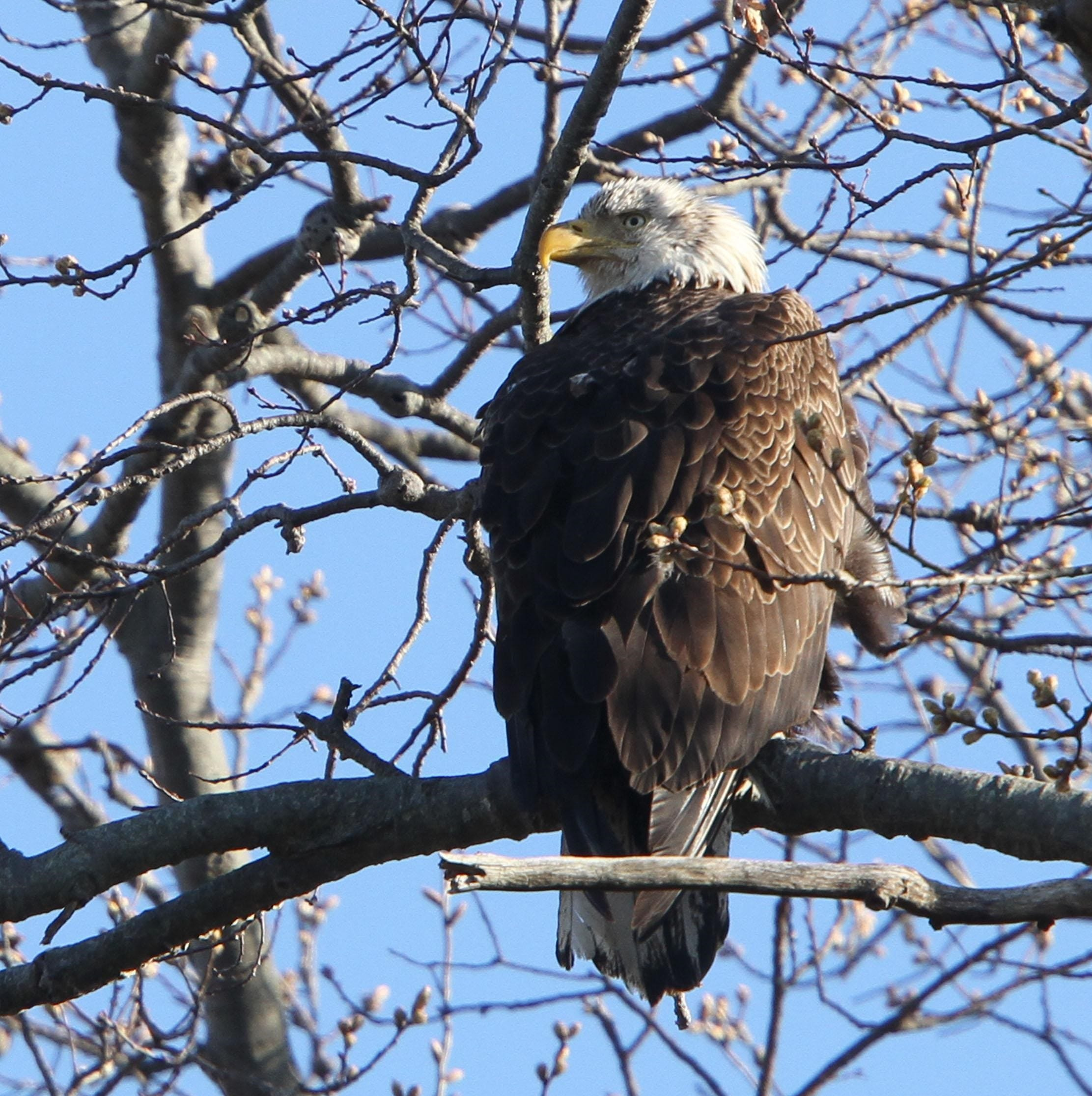 Neighbors briefs: Eagles, strawberries, Alexander, Ospreys, Morey's Pier, grief support