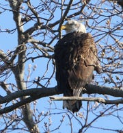 South Jersey Land & Water Trust will host a Bald Eagle Walk at 10 a.m. March 23 in the Maurice River Bluffs Preserve on Silver Run Road in Millville.