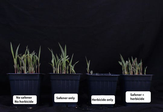 Sorghum plants treated with safeners and/or herbicides.