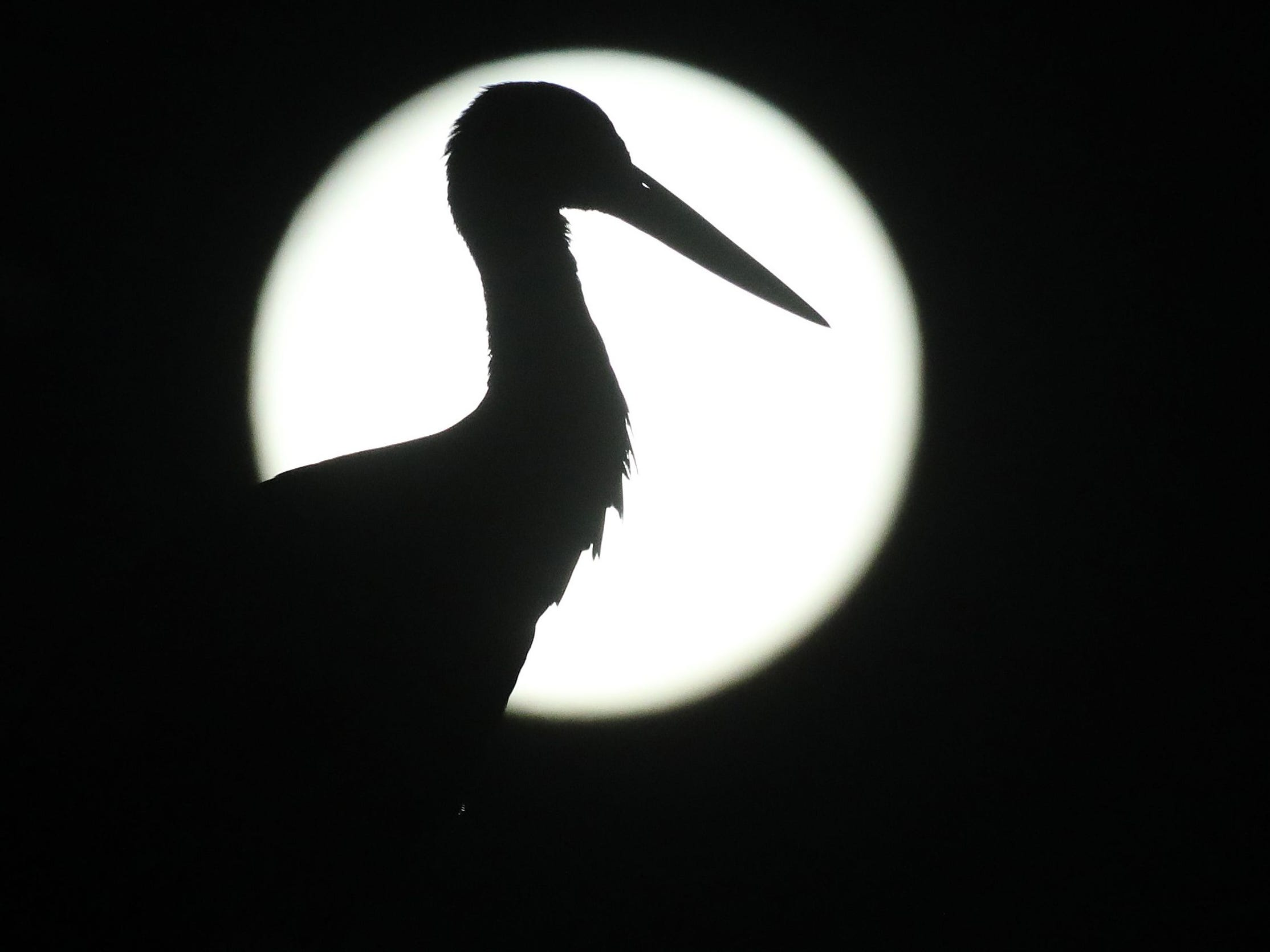 A stork standing on its nest silhouettes against the full moon on early March 21, 2019 in Riedlingen-Zell near Reutlingen, southern Germany. (Photo by Thomas Warnack / dpa / AFP) / Germany OUTTHOMAS WARNACK/AFP/Getty Images ORIG FILE ID: 587261409