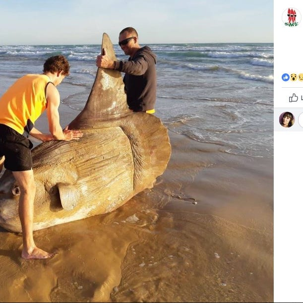This odd-looking sunfish washed ashore an Australian beach over the weekend.