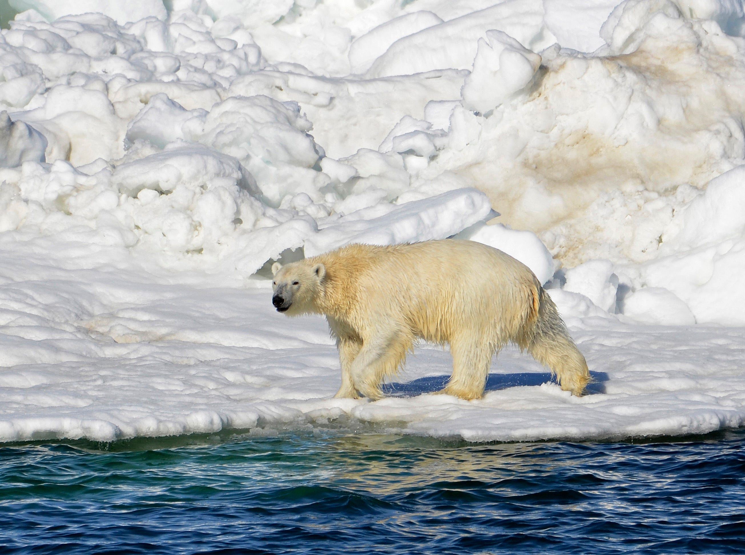A polar bear dries off after taking a swim in the Chukchi Sea in Alaska, June 15, 2014.