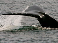 A North Atlantic right whale dives in Cape Cod Bay near Provincetown, Mass. in April 2008.