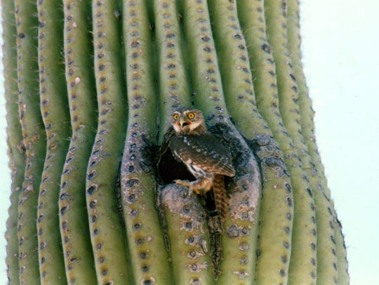 A pygmy owl perches on a cactus near Tucson, Arizona.